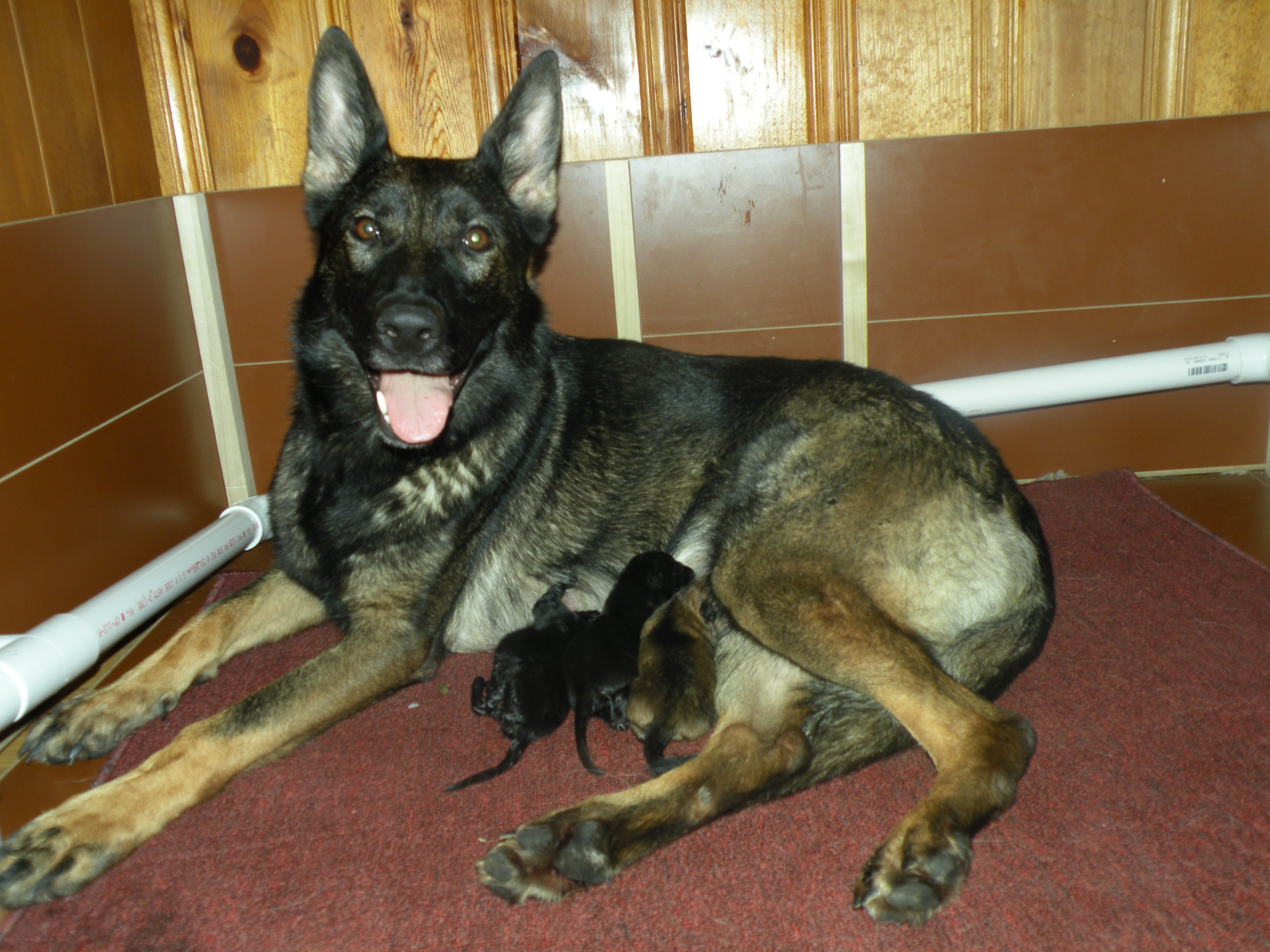 how to train your german shepherd to protect