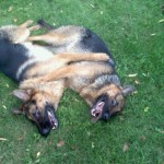pittsburghdogtrainingandgermanshepherddogs231