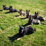 pittsburghdogtrainingandgermanshepherddogs336