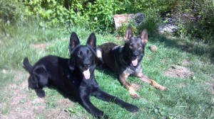 Pittsburgh Dog Training and German Shepherd Dogs55523999_1118113188_n