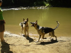 Pittsburgh Dog Training and German Shepherd DogsA