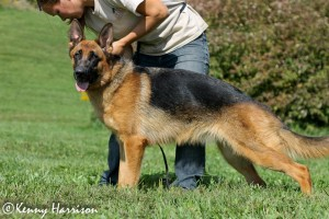 Pittsburgh Dog Training and German Shepherd Dogs0012