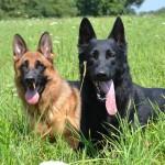 Pittsburgh Dog Training and German Shepherd Dogs12