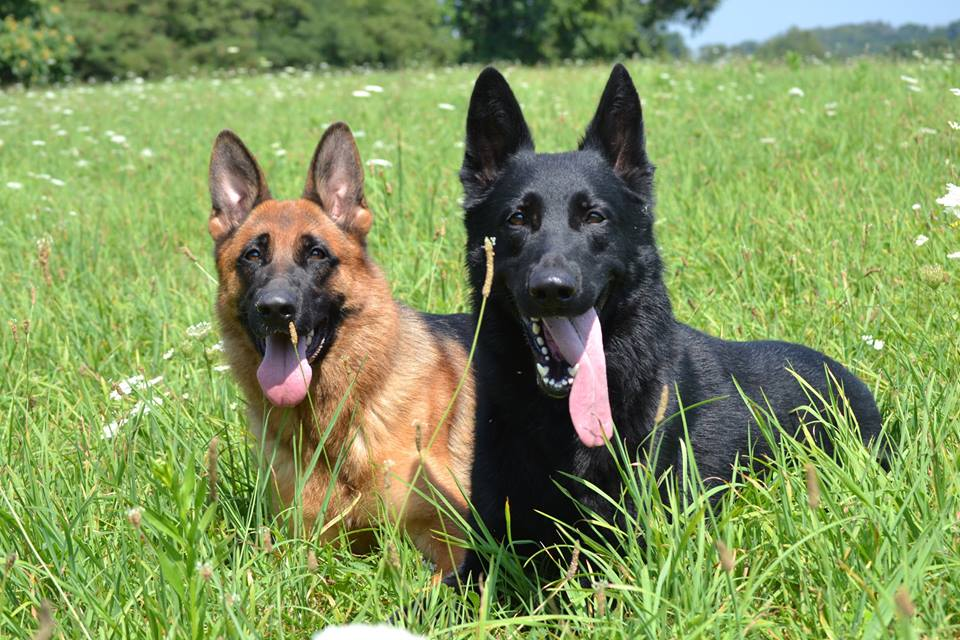 Police Trained Dogs For Adoption
