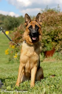 Pittsburgh Dog Training and German Shepherd Dogs232