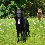 Pittsburgh Dog Training and German Shepherd Dogs3