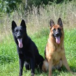Pittsburgh Dog Training and German Shepherd Dogs8