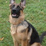 Pittsburgh dog training and German Shepherd Dogs76