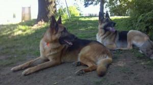 pittsburghdogtrainingandgermanshepherddogs78787