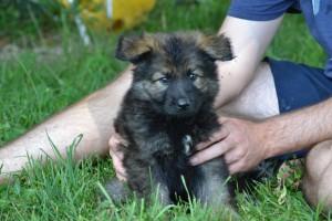German Shepherd puppy Pittsburgh
