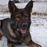Pittsburgh Dog Training and German Shepherd Dogs1