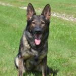 Pittsburgh Dog Training and German Shepherd Dogs21