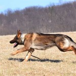 Pittsburgh Dog Training and German Shepherd Dogs30
