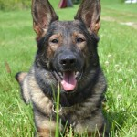 Pittsburgh Dog Training and German Shepherd Dogs54