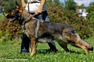 Pittsburgh Dog Training and German Shepherd Dogs8773