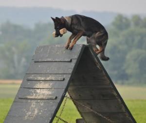 pittsburgh dog training and german shepherd dogs 123234 (2)
