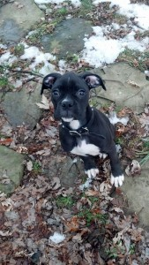 Pittsburgh Boxer puppy